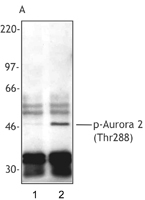 NB600-1157 - Aurora kinase A