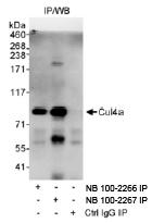 NB100-2266 - Cullin-4A