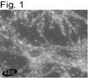 NB600-1171 - ATP synthase subunit beta