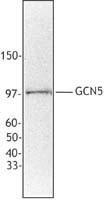 NB600-1178 - KAT2A / GCN5L2