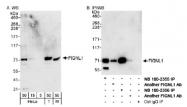 NB100-2355 - Fidgetin-like protein 1
