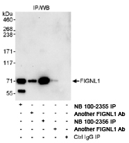 NB100-2356 - Fidgetin-like protein 1