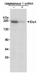 NB600-231 - DIAPH1