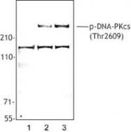 NB100-2077 - DNA-PKcs / PRKDC / XRCC7