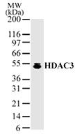 NB100-1669 - HDAC3