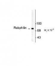 NB300-743 - Rabphilin-3A / RPH3A