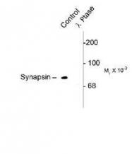 NB300-744 - Synapsin-1