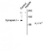 NB300-745 - Synapsin-1