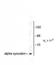 NB300-746 - Alpha-Synuclein / SNCA
