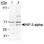 NB100-2529 - HIF3A / HIF3 alpha