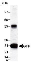 NB600-303 - GFP