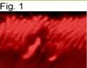 NB120-2776 - Rhodopsin kinase