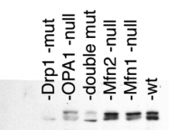 NB110-55237 - Dynamin-1-like protein