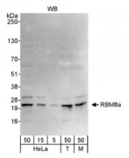NB100-55326 - RBM8A / RBM8