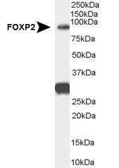 NB100-55411 - FOXP2
