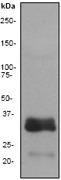 NB110-55466 - Apolipoprotein E / Apo E