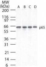 NB100-56055 - RELA / NF-kB p65