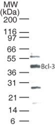 NB100-56375 - Bcl-3