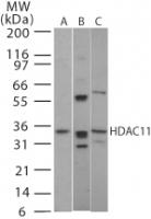 NB100-56382 - HDAC11