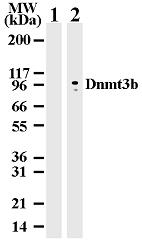 NB100-56514 - DNMT3B