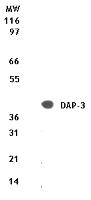 NB100-56539 - DAP3 / MRPS29