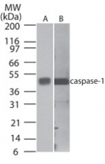 NB100-56565 - Caspase-1