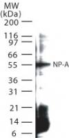 NB100-56570 - Influenza A H1N1