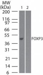NB100-56582 - FOXP3