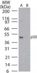 NB100-56583 - NF-kB p105 / p50