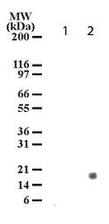 NB100-56595 - Histone H3