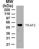 NB100-56715 - TRAF2 / TRAP3