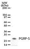 NB100-56719 - PGLYRP1 / PGRPS
