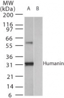 NB100-56876 - Humanin