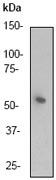 NB110-56899 - Cyclin A2