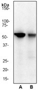 NB110-56900 - Cyclin B1