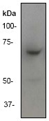 NB110-56956 - Tyrosine-protein kinase ITK/TSK
