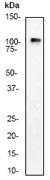 NB110-57005 - Glutamate receptor 1 / GLUR1