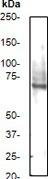 NB110-57030 - IAP1 / BIRC3