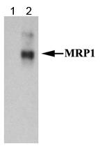 NB110-57131 - ABCC1 / MRP1