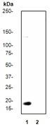 NB110-57046 - Histone H3