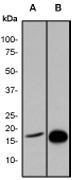 NB110-57051 - Histone H3.1t