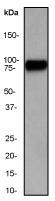 NB110-57058 - Heat shock factor 1 / HSF1