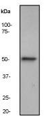NB110-57121 - Integrin-linked protein kinase