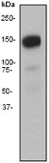 NB110-57123 - CD29 / Integrin beta-1