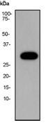 NB110-57186 - Myelin Basic Protein