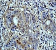 NB110-57234 - CD227 / Mucin-1 / MUC1