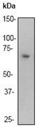 NB110-57267 - RELA / NF-kB p65