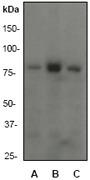 NB110-57350 - PIK3R1 / GRB1
