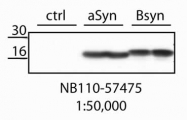 NB110-57475 - Alpha-Synuclein / SNCA