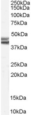 NB100-57847 - NPY receptor 2 / NPY2R